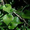 Maianthemum dilatatum, Mary Sue Ittner [Shift+click to enlarge, Click to go to wiki entry]