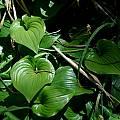 Maianthemum dilatatum, Mary Sue Ittner