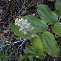 Maianthemum racemosum, Bob Rutemoeller [Shift+click to enlarge, Click to go to wiki entry]
