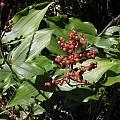 Maianthemum racemosum, Bob Rutemoeller