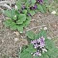 Mandragora autumnalis variability, Davide PAcifico