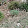 Mandragora autumnalis habitat, Davide PAcifico