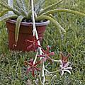 Manfreda longiflora, Monica Swartz