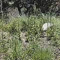 Manfreda maculata, Dale Denham-Logsdon