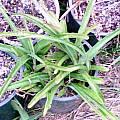 Manfreda variegata 'El Naranjo' form, Lee Poulsen