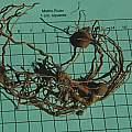 Maranta leuconeura rhizome, Mary Sue Ittner
