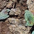 Massonia amoena, Motkop, Cameron McMaster