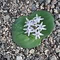 Massonia jasminiflora, Bert Zaalberg