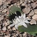 Massonia jasminiflora, Smithfield, Bert Zaalberg