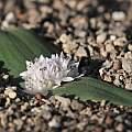 Massonia jasminiflora, Modder River, Bert Zaalberg