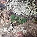 Massonia latebrosa, Karoopoort, Rob Scott
