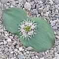 Massonia pseudoechinata, Bert Zaalberg