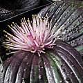 Massonia longipes, M30, Nhu Nguyen
