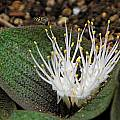 Massonia pustulata, Mary Sue Ittner