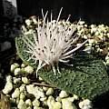 Massonia pygmaea ssp. pygmaea, Uluwehi Knecht