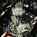Massonia pygmaea ssp. kamiesbergensis, Nhu Nguyen