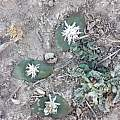 Massonia roggeveldensis, Klein Roggeveld, Rob Scott
