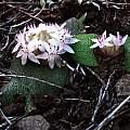 Massonia sempervirens, Mount Tor Doone, Hogsback, Cameron McMaster
