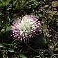 Massonia setulosa, Kykoedie, Protem, Cameron McMaster