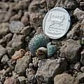 Massonia wittebergensis, Naude's Nek, Bob Rutemoeller