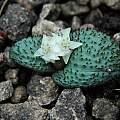 Massonia wittebergensis, Naude's Nek, Mary Sue Ittner