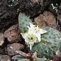 Massonia wittebergensis, Tiffendell, Cameron McMaster