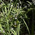 Melasphaerula graminea, Jan-Hendrik Keet, iNaturalist, CC BY-NC