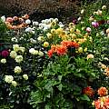 Dahlia garden, 2014, Mary Sue Ittner