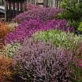 MCBG, heather garden, Bob Rutemoeller