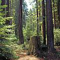 Redwood Forest, Bob Rutemoeller