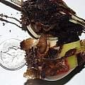 Narcissus bulb fly larva, Arnold Trachtenberg