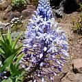 Merwilla plumbea, UC Botanical Garden, Kelley Macdonald