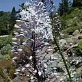 Merwilla plumbea, UC Botanical Garden