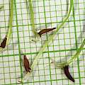 Micranthus junceus seed, M. Gastil-Buhl