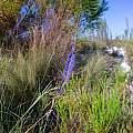 Micranthus plantagineus, Christopher Whitehouse