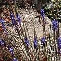 Micranthus tubulosus, UC Botanical Garden