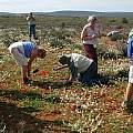 IBSA members looking at Daubenya aurea, Middelpos, Mary Sue Ittner