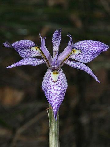 Pacific Bulb Society Gynandriris