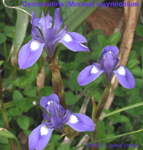 Moraea sisyrinchium 20 seeds