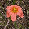 Moraea hybrid, Homeria subgroup, Bob Rutemoeller