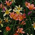 Moraea hybrids, Homeria subgroup, Mary Sue Ittner