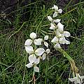 Moraea albicuspa, Naude's Nek, Cameron McMaster