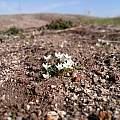 Moraea albiflora, Henry de Lange, iNaturalist, CC BY-NC