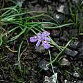 Moraea alpina, Naude's Nek, Mary Sue Ittner