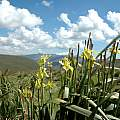 Moraea alticola, Naude's Nek, Bob Rutemoeller
