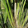 Moraea alticola, Naude's Nek, Cameron McMaster
