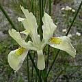 Moraea anomala, Fairfield, Cameron McMaster [Shift+click to enlarge, Click to go to wiki entry]
