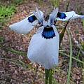 Moraea aristata, Bob Rutemoeller [Shift+click to enlarge, Click to go to wiki entry]