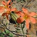 Moraea bulbillifera ssp. bulbillifera, Marion Maclean, iNaturalist, CC BY-NC