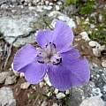 Moraea calcicola, Cameron McMaster [Shift+click to enlarge, Click to go to wiki entry]